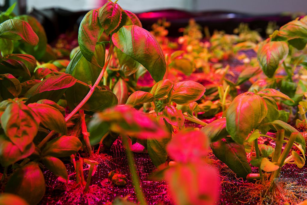how to make chorus plant grow faster
