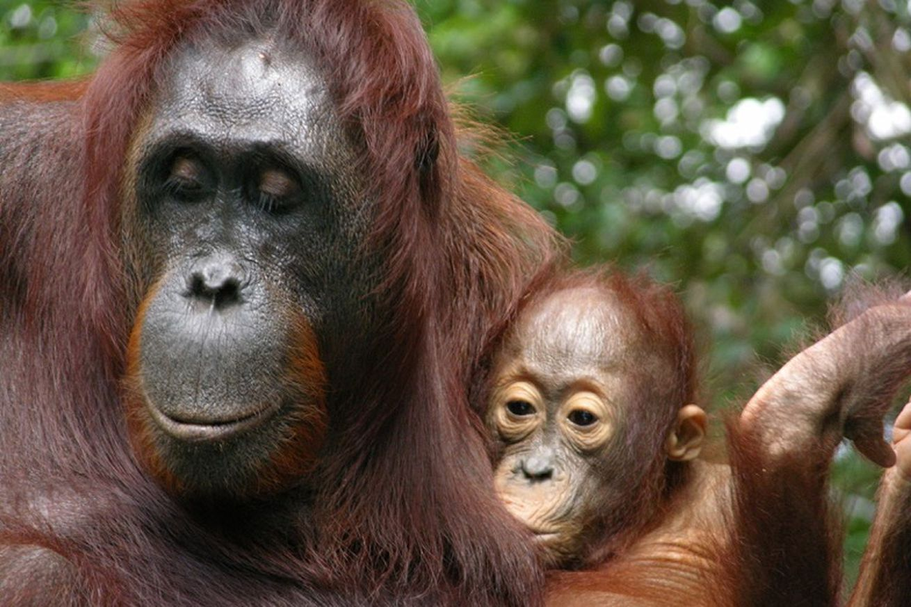 You think your baby's needy? Orangutan moms breastfeed for eight years
