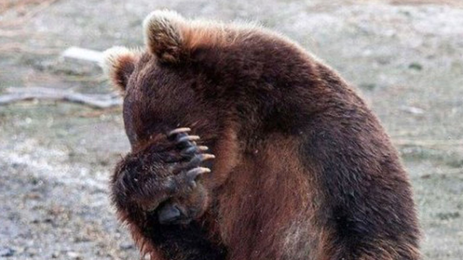 Facepalm-bear-560x560.0.0