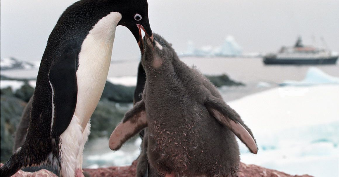 photo image How do you count penguins from space? From their poop smears, of course