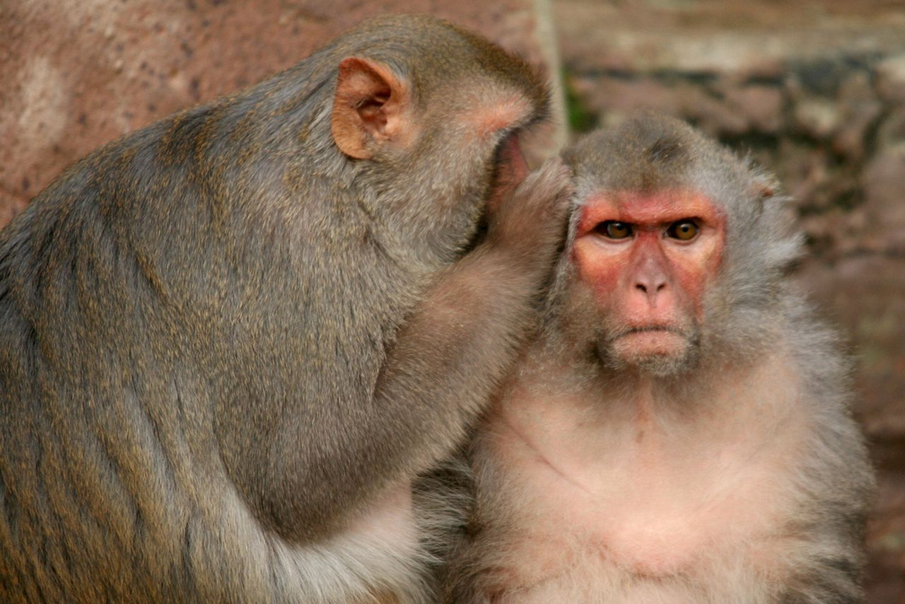 Mind reading tech allows monkeys to type