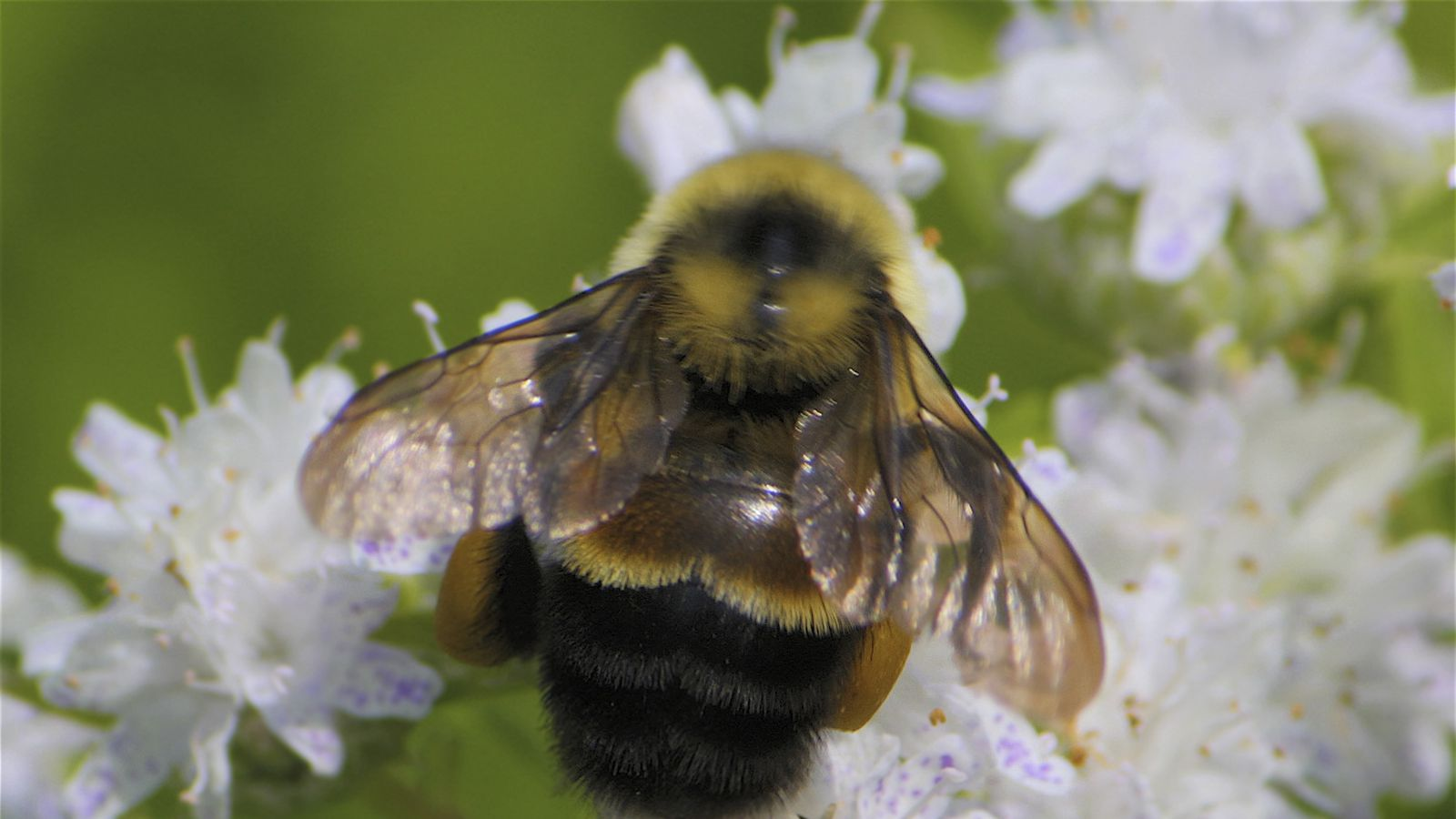 The Rusty Patched Midwestern Bumblebee Is Now Endangered The Verge