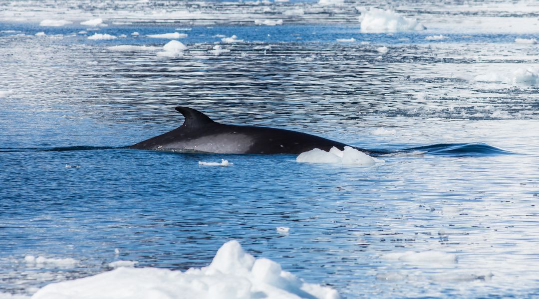 Japan's excuse for killing 333 whales in Antarctica is ridiculous