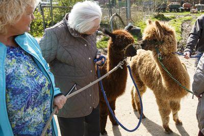 Dementia Patients Visit Alpaca Farm As Therapy