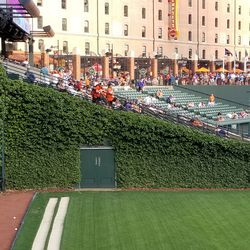 This is genuine Wrigley Field ivy, grown from cuttings