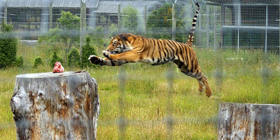 tiger-leap960.0.jpg