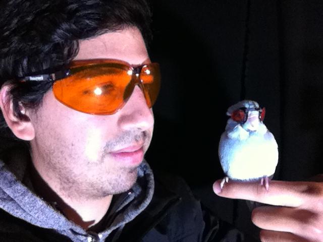 Cameras capture breakdown of tip vortices during bird flight