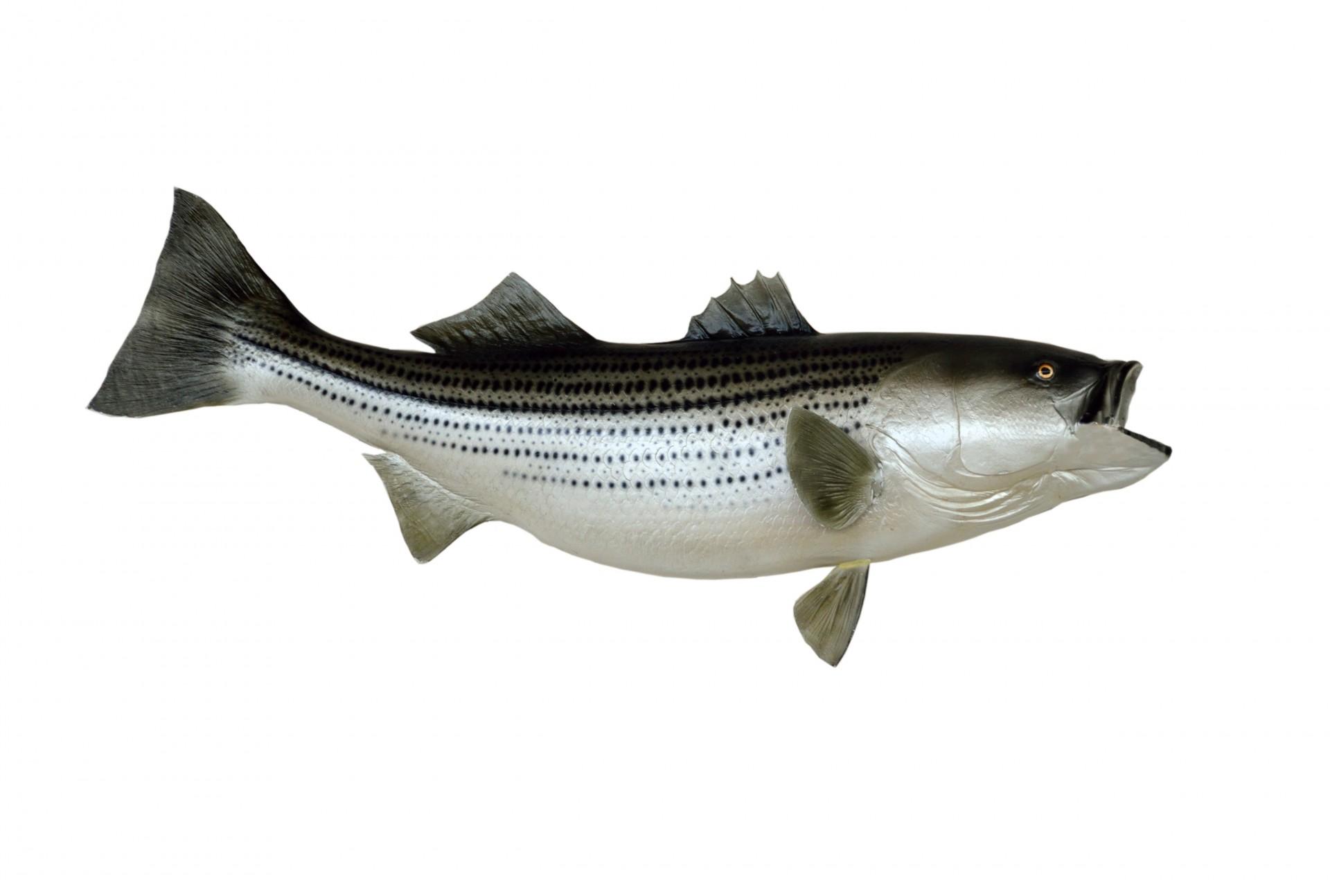 A striped bass